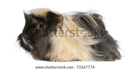 Young Peruvian guinea pig, 6 months old, in front of white background - stock photo