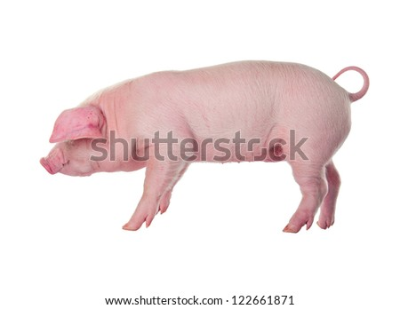 Young pig. Fold breed. Landrace - stock photo