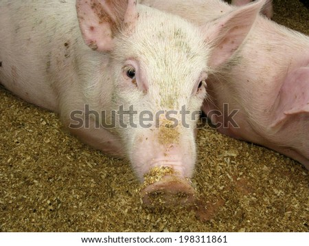 young pig with risen ears in shed - stock photo