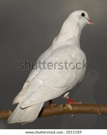 young pigeon sits on branch