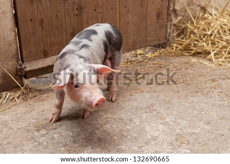 Young piglet - stock photo