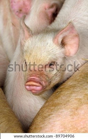 Young piglet in pig pen in Peak District National Park England