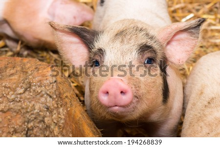 Young piglet , pig on hay. - stock photo