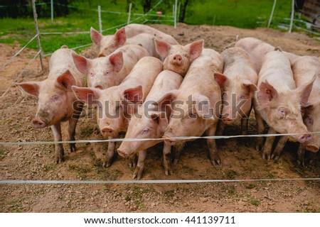 young piglet pigs on hay at pig breeding farm - stock photo