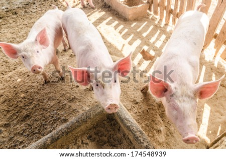 Young pigs on the farm, look at camera - stock photo