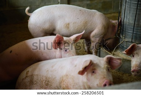 Young pigs on the farm, School of pig - stock photo