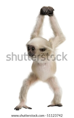 Young Pileated Gibbon, 4 months old, Hylobates Pileatus, walking in front of white background - stock photo