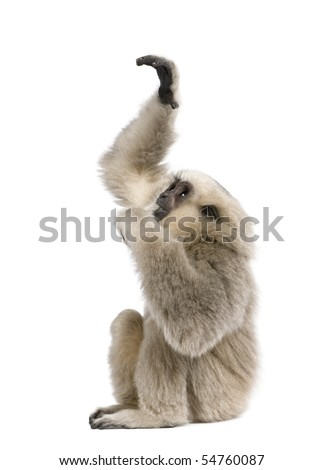 Young Pileated Gibbon, 4 months old, reaching up in front of white background - stock photo