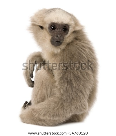 Young Pileated Gibbon, 4 months old, sitting in front of white background - stock photo