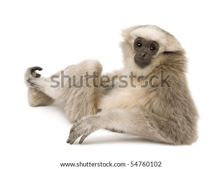 Young Pileated Gibbon, 4 months old, sitting looking over shoulder in front of white background - stock photo