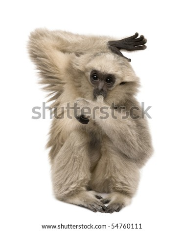 Young Pileated Gibbon, 4 months old, sitting with arm raised in front of white background - stock photo