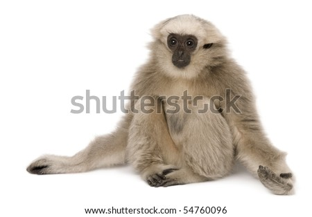 Young Pileated Gibbon, 4 months old, sitting with arms out in front of white background - stock photo