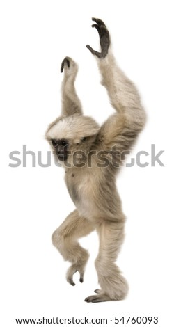 Young Pileated Gibbon, 4 months old, standing with arms up in front of white background - stock photo