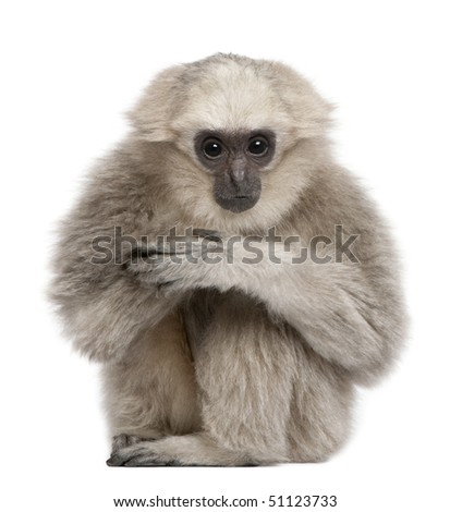 Young Pileated Gibbon, 1 year, Hylobates Pileatus, sitting in front of white background - stock photo