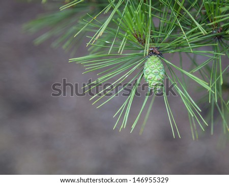Young Pine Cone Closeup with diffused background - stock photo