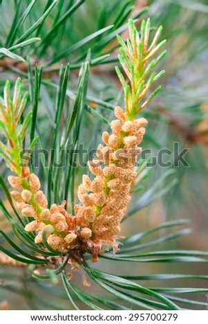 Young pine cone on green coniferous tree growing - stock photo