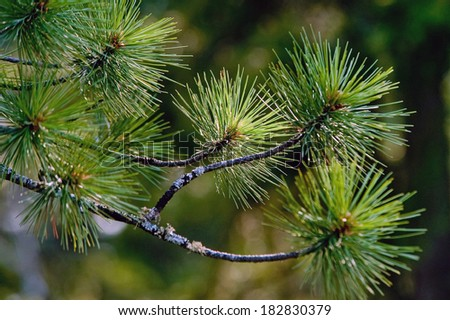 young pine needles in the front light - stock photo
