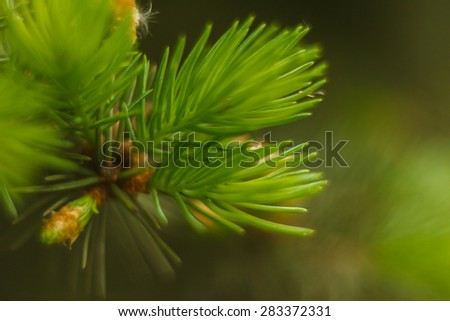 Young pine tree branch