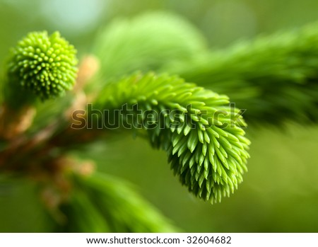 Young pine tree branch - stock photo