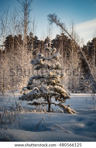young pine tree in winter forest