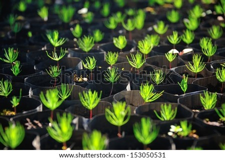 Young pine tree seedling. - stock photo