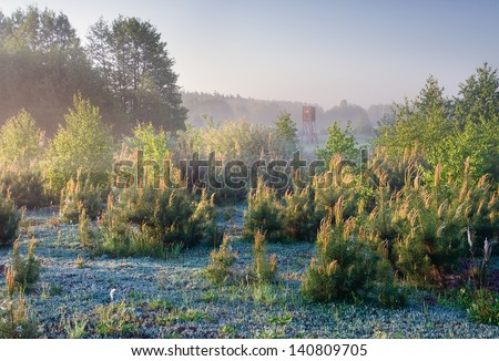 young pine trees at foggy sunrise