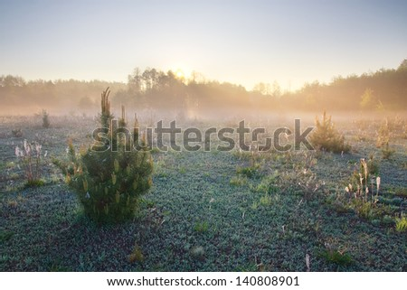 young pine trees at foggy sunset