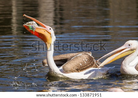Young pink pelican playing with a piece of plastic - stock photo