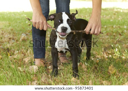 Young Pit bull puppy biting stick - stock photo
