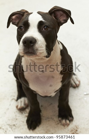 Young Pit Bull puppy sitting on floor - stock photo