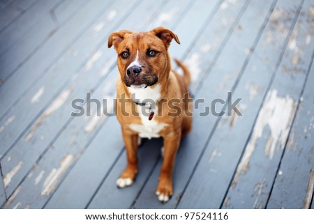 Young Pit Bull Shepherd Mix sits on patio outside with chipped paint