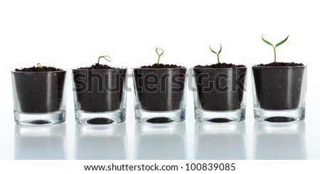 Young plant evolution - growth of spring seedling on white background - stock photo