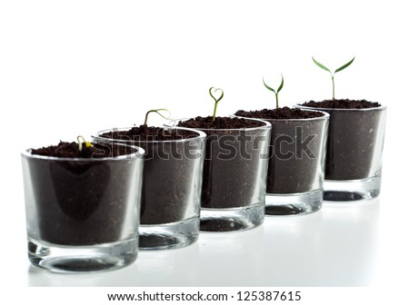 Young plant evolution stages - seedlings growing in small glasses