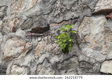 Young plant growing on an old stone wall - stock photo