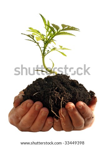 Young plant in human hands, isolated on a white background, please see some of my other parts of a body image - stock photo