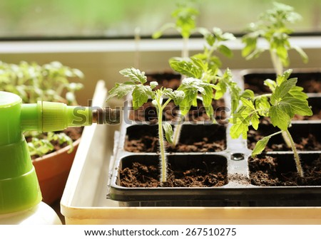 Young plant of tomato growing in a tray  - stock photo