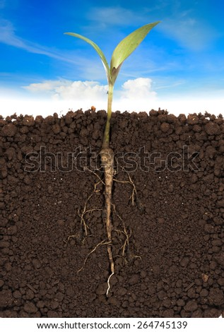 young plant with exposed roots in soil and blue sky - stock photo