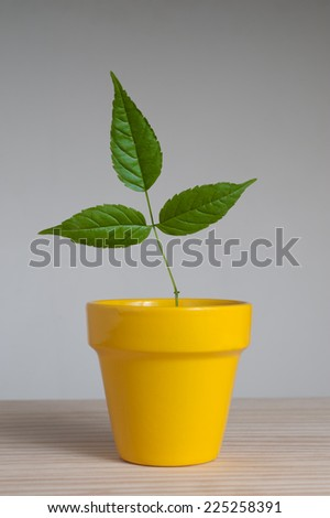 Young plant  with three leaves in yellow clay pot  - stock photo