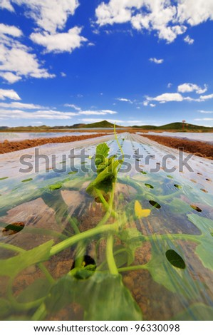 Young plants growing under  plastic cloches. Some leaves and tendrils protrude from the ventilation holes. Other cloche rows and distant hills and deep blue are seen in the background. - stock photo
