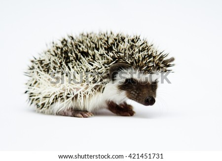Young, playful, cheerful, energetic, funny hedgehog