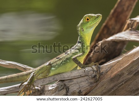 Young plumed or green basilisk (Basiliscus plumifrons), Tortuguero, Costa Rica. - stock photo