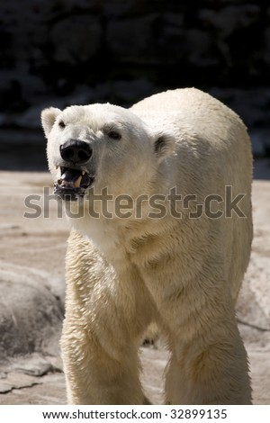 Young Polar Bear in Captivity - stock photo