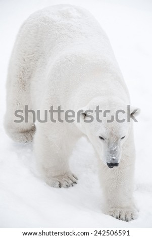 Young Polar Bear playing in snow - stock photo