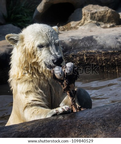 Young polar bear plays with a bone. - stock photo