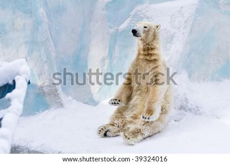 Young polar bear sitting on the snow and enjoying the sun - stock photo