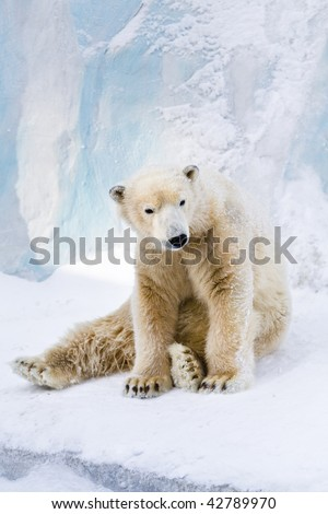 Young polar bear sitting on the snow and looking around
