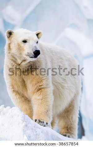 Young polar bear standing on the ice block - stock photo