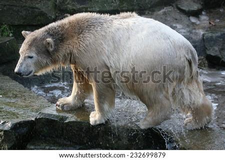 Young polar bear (Ursus maritimus). - stock photo