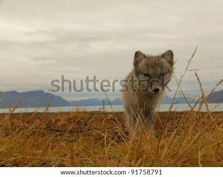 young polar fox in arctic environment - stock photo