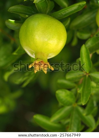 Young pomegranate growing on tree - stock photo